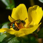 shiny green bee covered in pollen in a bright flower