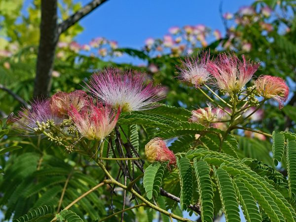 tufts of small fuzzy pink flowers on a leafy background