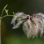 a newly growing plant top next to a dry seed head fluff