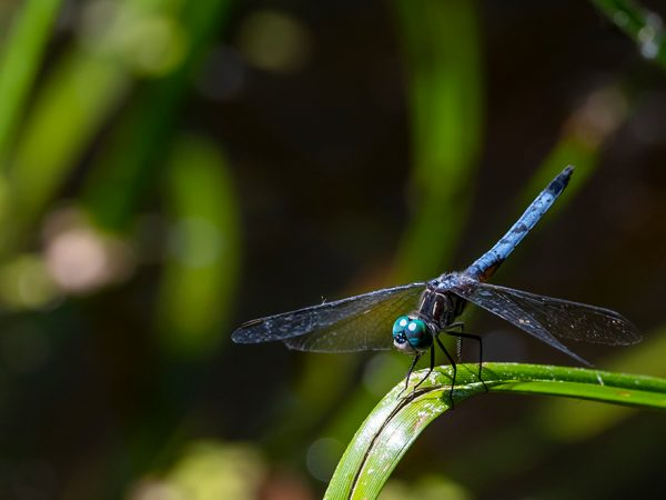 blue dragonfly resting on a blade of grass against a swampy background