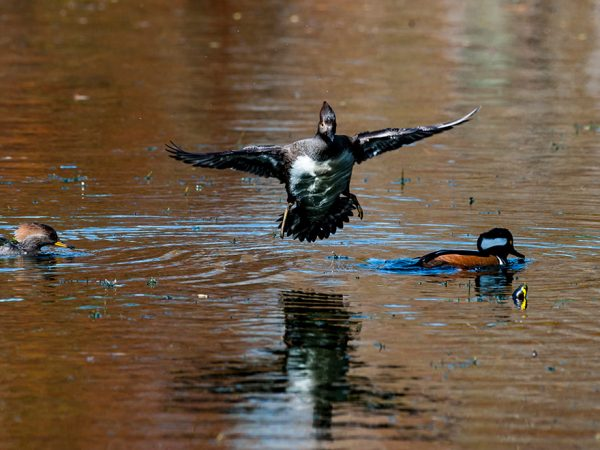 several water birds in a pond while a third one swoops in to land