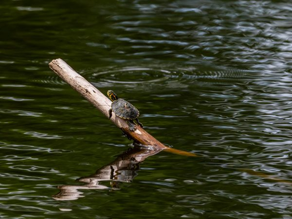 a small turtle sits on a branch poking out of a body of water