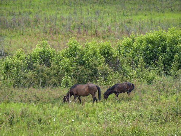 horses at paynes prairie