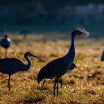 sandhill cranes in a winter grass meadow with clouds of frozen breath