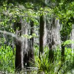 landscape view of tree trunks and palm fans