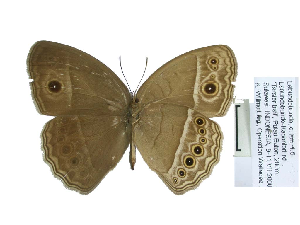 unmounted butterfly ? HYPOLIMNAS ALIMENA ssp