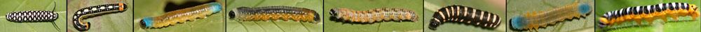 Ithomiini larva