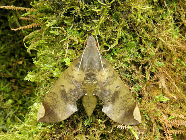 Hawkmoth camouflaged against tree