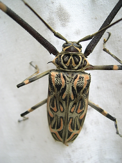 large beetle with orange and black pattern