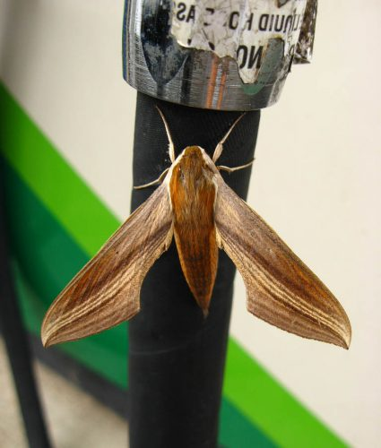 hawkmoth on gas pump