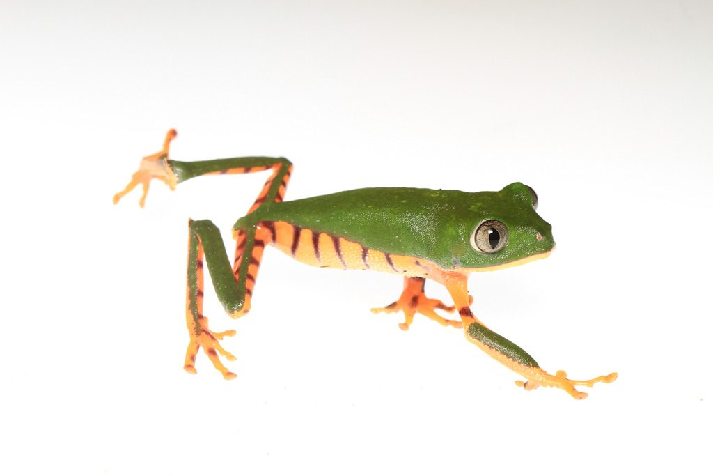 green frog with orange and purple striped underside