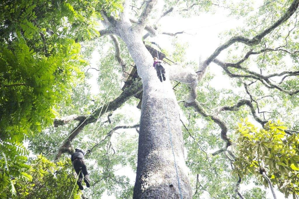 researchers climbing up ropes to a platform in the canopy of a large tree