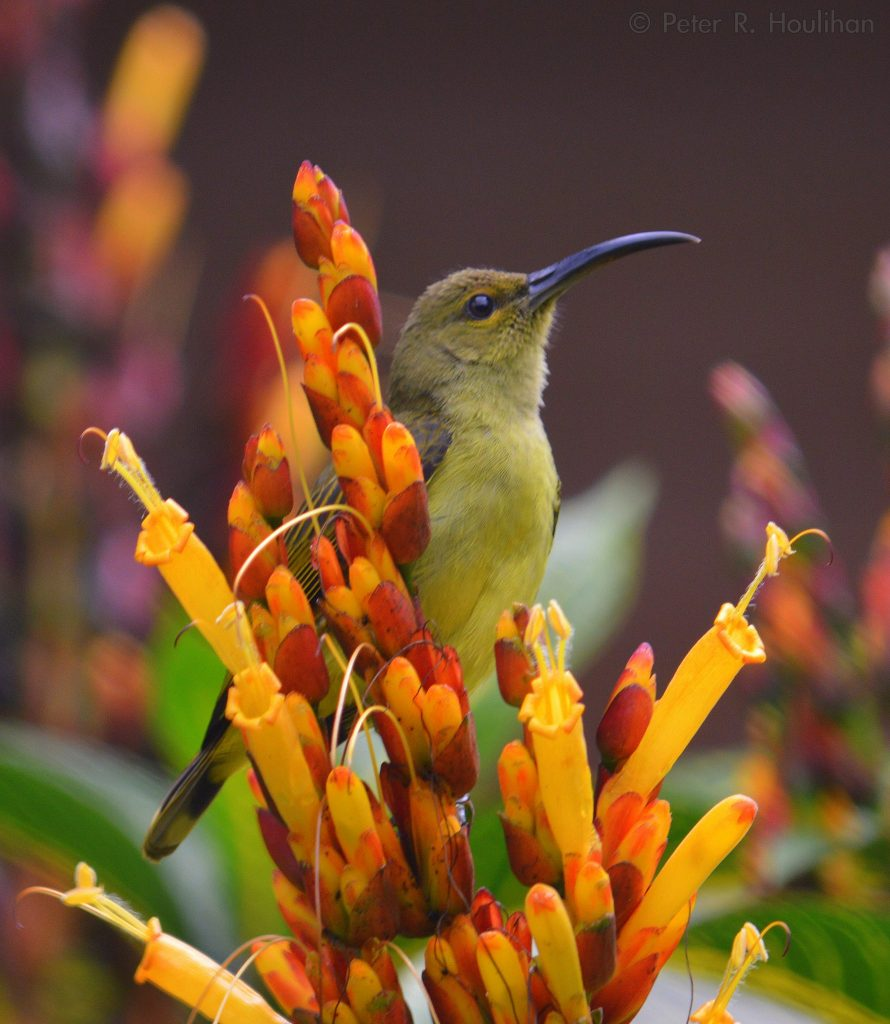 yellow bird with long black beak perched in orange and red tube shaped flowers