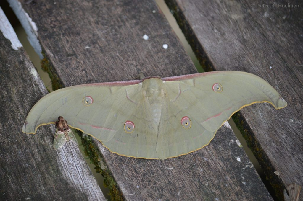 large green moth with wings outstretched