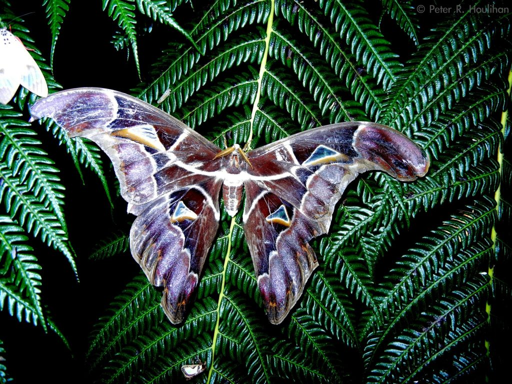 large moth with wings outstretched