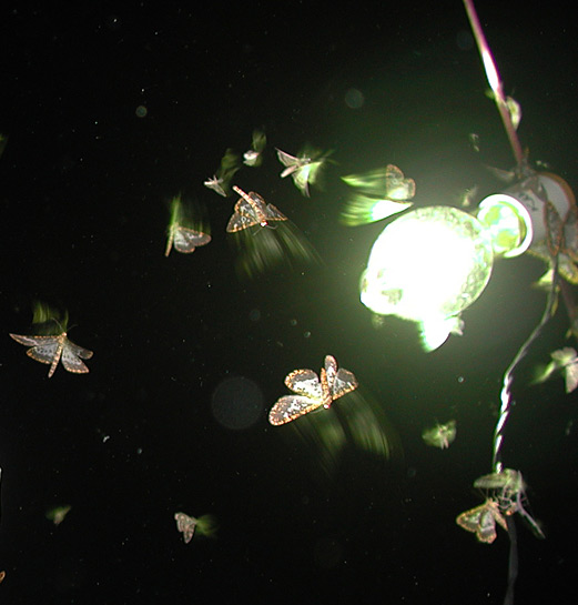 moths flying around a lamp