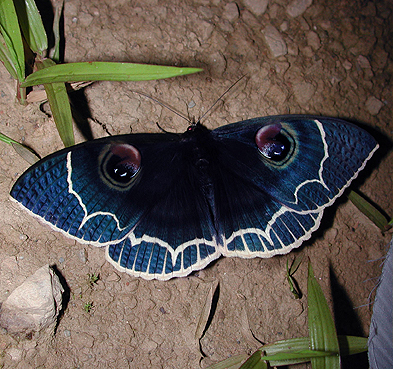 blue and white moth