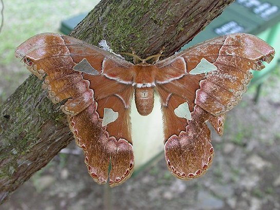 large brown and green moth