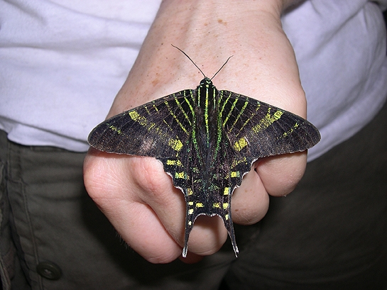black and yellow/green striped butterfly