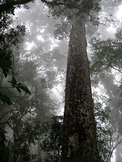great talamanca oak