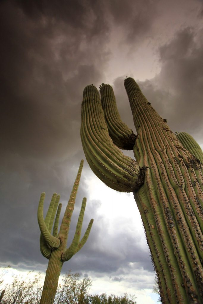 cactus with storm clouds in the background