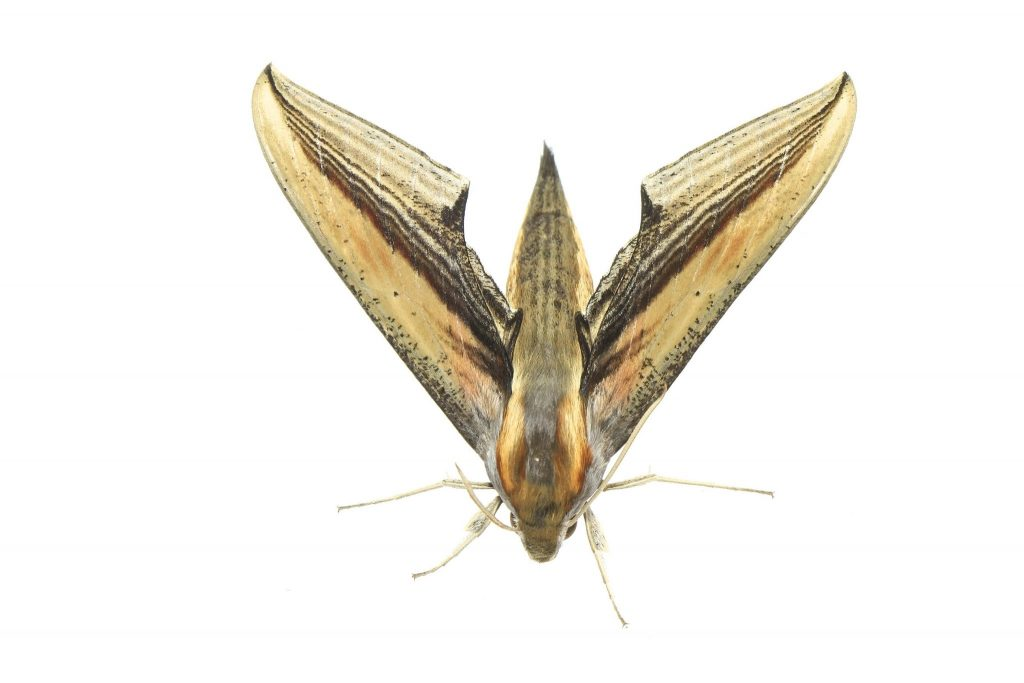 xylophanes falco