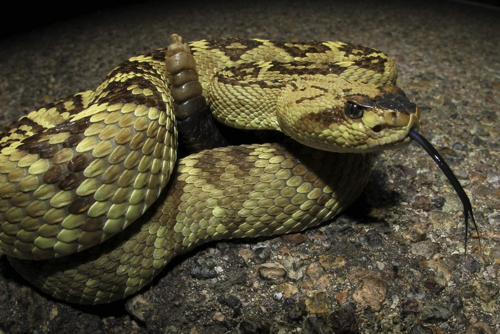 roiled rattlesnake at night
