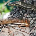 African Five-lined Skink