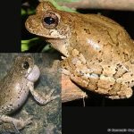 Bird-voiced Treefrog