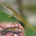 Cuban Green Anole