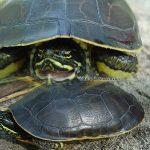 Eastern Chicken Turtle