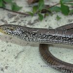 Eastern Slender Glass Lizard