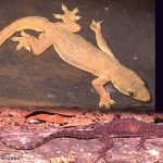 Indo-Pacific House Gecko