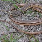 Island Glass Lizard
