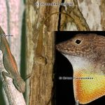 Puerto Rican Crested Anole