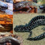 Reticulated Flatwoods Salamander