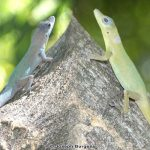 Saint Vincent's Bush Anole