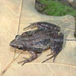 Southern Chorus Frog