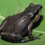Upland Chorus Frog