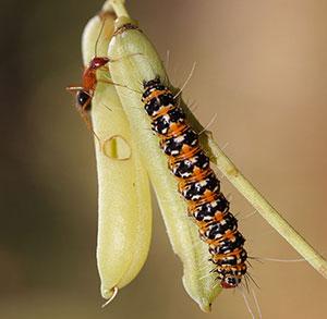 bella moth caterpillar