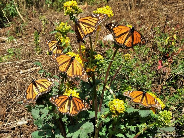 Seven Monarchs feeding on yellow flowers.