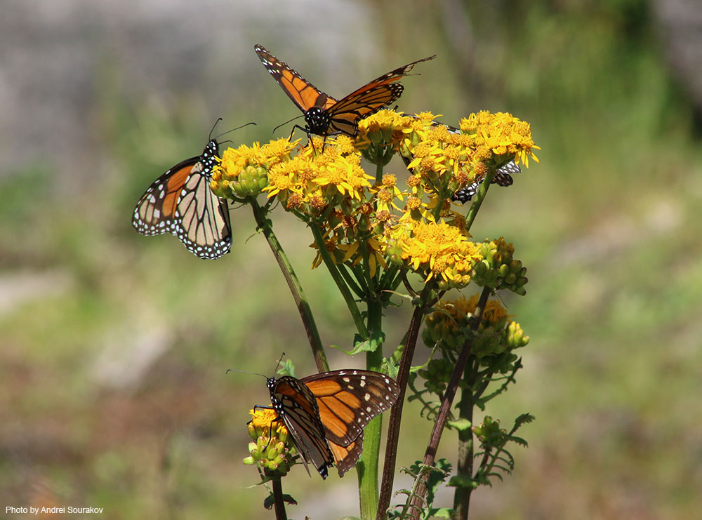 Monarchs feeding on flowers.