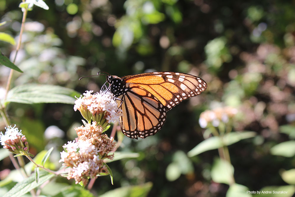 A Monarch on a pale pink flower.