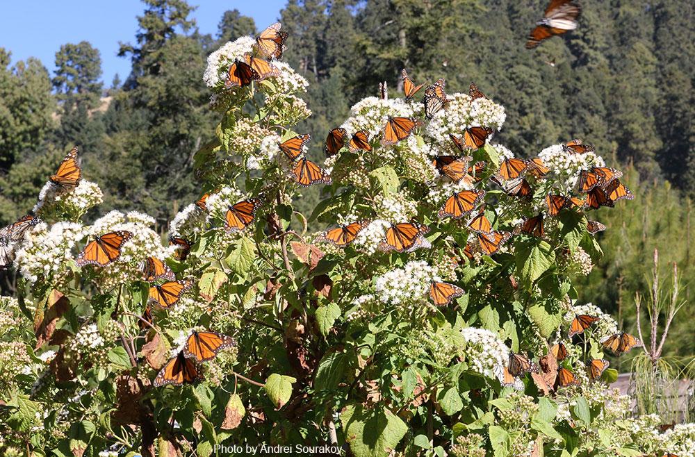 Monarchs cover a white-flowered bush.