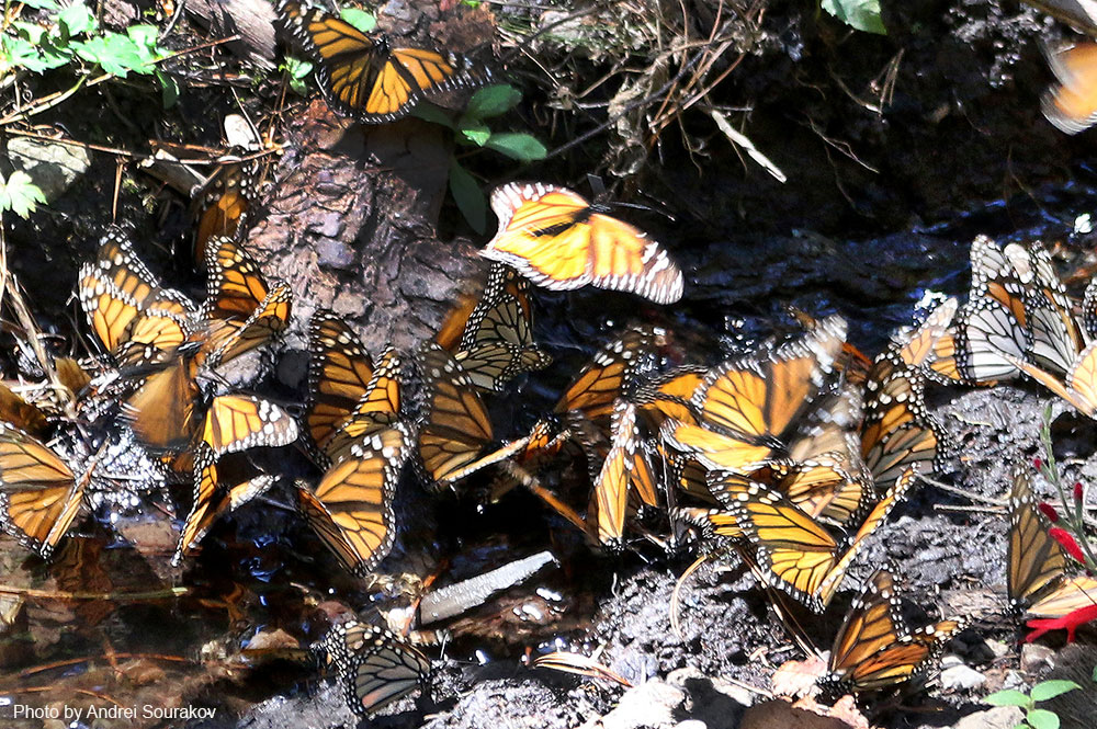Many Monarchs drinking water on a small stream of water.