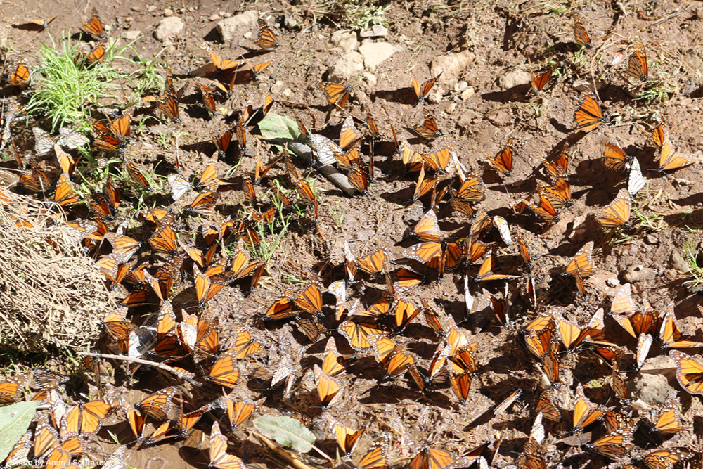 Many Monarchs on the ground.