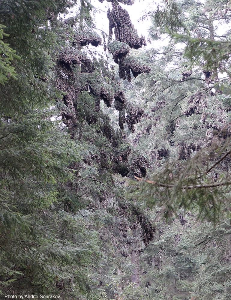 Monarchs cover entire tree.