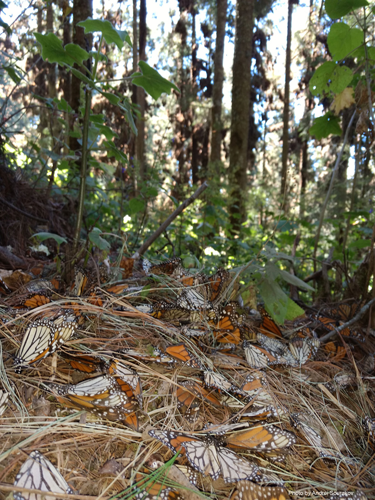 Many dead monarchs on the forest floor.