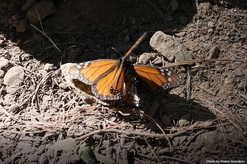 Monarchs mating.