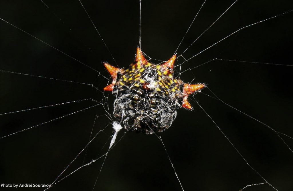 spiny orbweaver